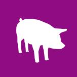 section porcine - GDS 72